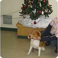 Adopt A Pet :: Holly - Trabuco Canyon, CA