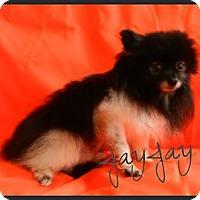 Adopt A Pet :: JayJay - Escondido, CA