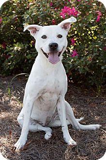 Boxer Mix Dog for adoption in Wilmington, North Carolina - Pecas