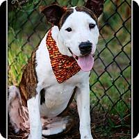 Adopt A Pet :: Amelia - Albany, NY