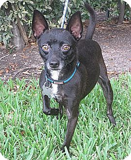 Chihuahua Mix Dog for adoption in Houston, Texas - Joey