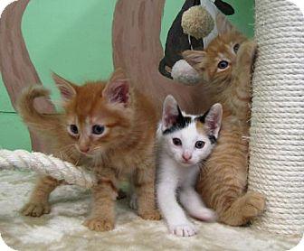 Domestic Shorthair Kitten for adoption in Port St. Joe, Florida - Azalia, Oaklie