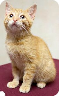 Domestic Shorthair Kitten for adoption in Montclair, New Jersey - Tigger