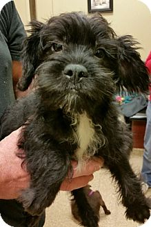 French Bulldog/Poodle (Miniature) Mix Puppy for adoption in Fairview Heights, Illinois - Tucker