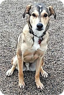 Australian Shepherd Mix Dog for adoption in Buena Vista, Colorado - Odin