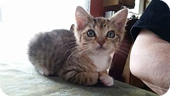Domestic Shorthair Kitten for adoption in Turnersville, New Jersey - Sally