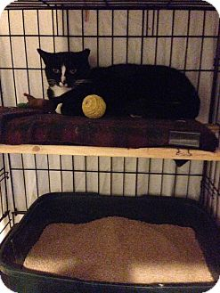 American Shorthair Cat for adoption in Brooklyn, New York - Buddy