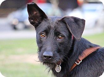 Irish Terrier/Terrier (Unknown Type, Medium) Mix Dog for adoption in San Francisco, California - Bess