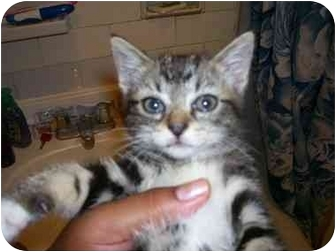 Maine Coon Kitten for adoption in Long Beach, New York - nana