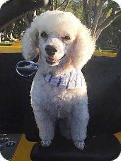 Poodle (Miniature) Dog for adoption in Boca Raton, Florida - Cody