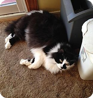 Domestic Longhair Cat for adoption in Rochester, New York - Happy - Mellow Fellow