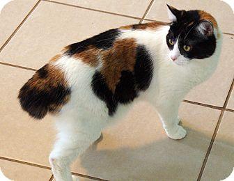 Manx Cat for adoption in Maynardville, Tennessee - Pandora