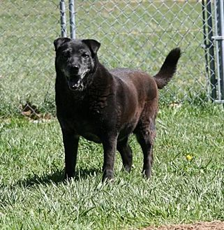 Shar Pei/Labrador Retriever Mix Dog for adoption in Fairfax Station, Virginia - Ella