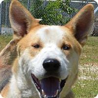 Husky/Shepherd (Unknown Type) Mix Dog for adoption in Sturbridge, Massachusetts - Gustav