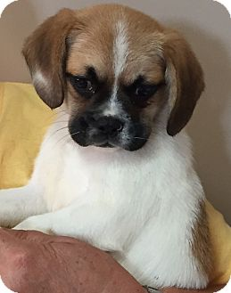 Beagle/Pug Mix Puppy for adoption in Mt Sterling, Kentucky - Pugsly