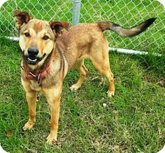 Shepherd (Unknown Type) Mix Dog for adoption in Terrell, Texas - Guinness