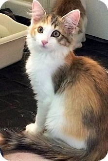 Calico Kitten for adoption in Nolensville, Tennessee - Patricia