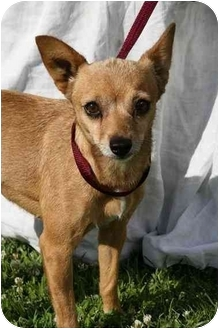 Chihuahua Mix Dog for adoption in Poway, California - Lucie