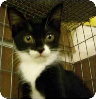 Domestic Shorthair Kitten for adoption in Davis, California - Lori