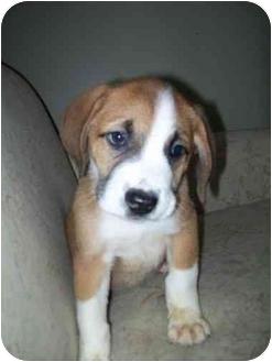 St. Bernard Puppy for adoption in Flint, Michigan - River