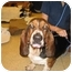 Photo 1 - Basset Hound Dog for adoption in Portsmouth, Rhode Island - Isabelle