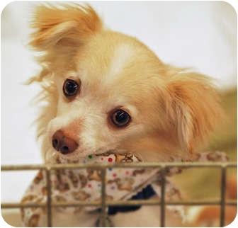 Chihuahua Mix Dog for adoption in Bridgeton, Missouri - Teddy