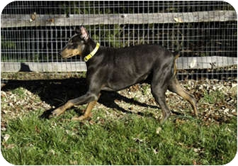 Doberman Pinscher Dog for adoption in Greensboro, North Carolina - Rumba