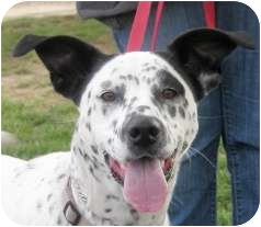 Dalmatian Mix Dog for adoption in Turlock, California - Sally