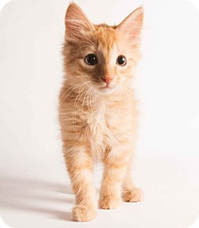 Domestic Mediumhair Kitten for adoption in Brownstown, Michigan - Leo