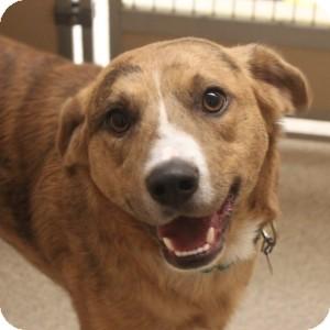 Australian Shepherd Mix Dog for adoption in Naperville, Illinois - Eddie