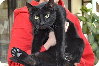 Domestic Shorthair Cat for adoption in Elyria, Ohio - Ninja
