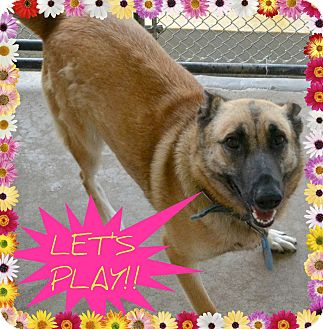 Belgian Malinois Dog for adoption in Beaumont, Texas - Jazzy