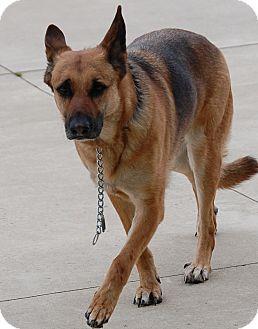 German Shepherd Dog Dog for adoption in Bucyrus, Ohio - Rayna