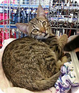 Domestic Shorthair Kitten for adoption in Gilbert, Arizona - Sassy