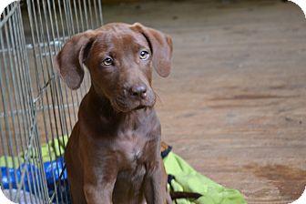 Labrador Retriever Mix Puppy for adoption in Huntsville, Alabama - Daphane