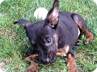 Miniature Pinscher/Terrier (Unknown Type, Small) Mix Puppy for adoption in Naperville, Illinois - Laney