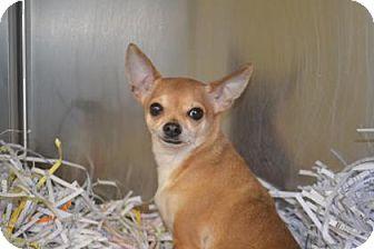 Chihuahua Mix Dog for adoption in Edwardsville, Illinois - Pablo