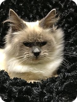 Birman Cat for adoption in South Haven, Michigan - Snickers