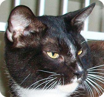 Domestic Shorthair Cat for adoption in Port St. Joe, Florida - AXEL