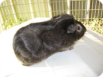 Guinea Pig for adoption in Christmas, Florida - Mookie