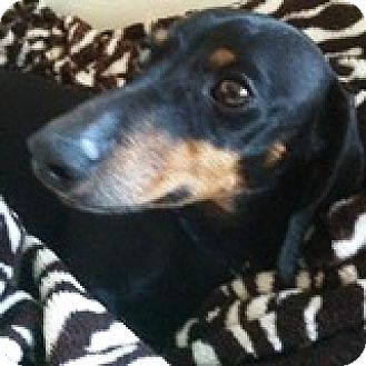 Dachshund Dog for adoption in Houston, Texas - Danny Dreamcicle