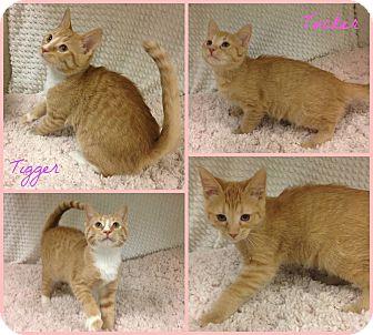 Domestic Shorthair Kitten for adoption in Joliet, Illinois - Tucker