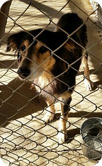 Collie/Shepherd (Unknown Type) Mix Dog for adoption in Anderson, Indiana - Nadia