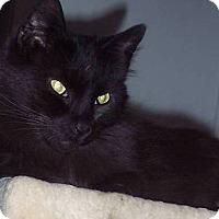 Adopt A Pet :: siamese mix darcy - brewerton, NY