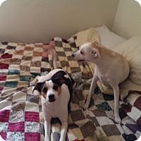Adopt A Pet :: Loretta in Princeton, Texas - Austin, TX
