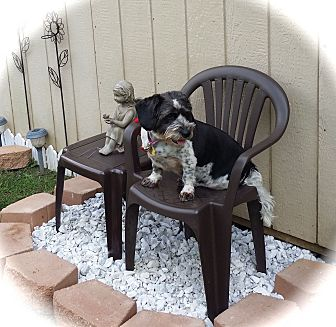 Cocker Spaniel/Basset Hound Mix Dog for adoption in Sharonville, Ohio - Laney~ADOPTION PENDING