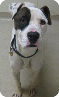 American Bulldog Mix Dog for adoption in Gary, Indiana - Spot