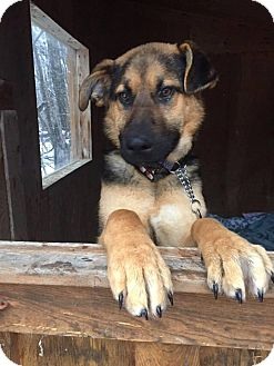 German Shepherd Dog Mix Puppy for adoption in Winnipeg, Manitoba - CHEVY