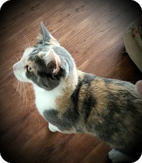 Domestic Shorthair Cat for adoption in Fairborn, Ohio - Georgia