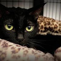 Adopt A Pet :: ninja n carmel - Temple, PA